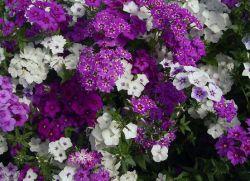 Kwiaty ogrodowe byliny