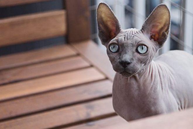 25 Najbardziej Niezwykłych Ras Kotów